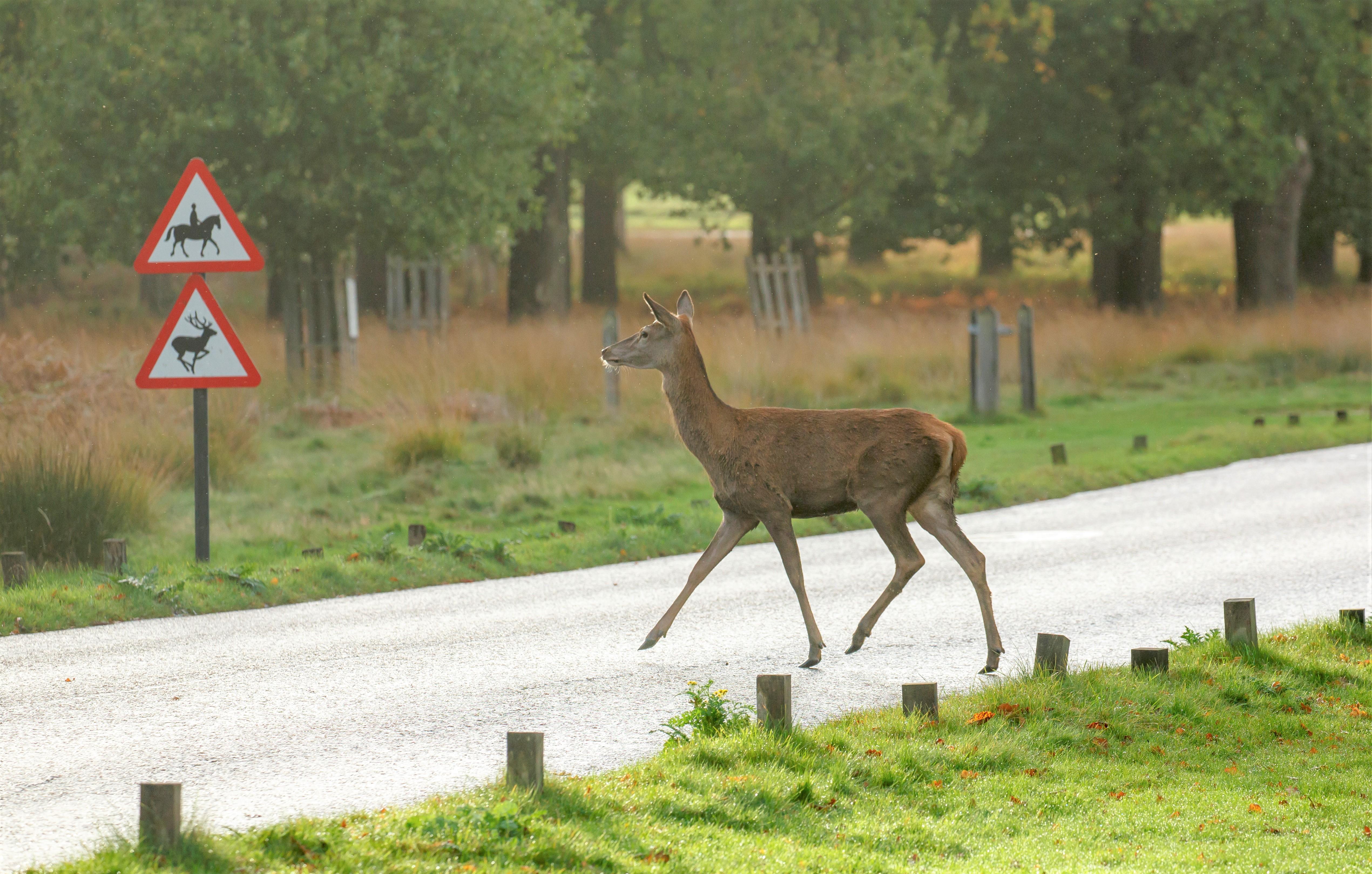 Deer edit
