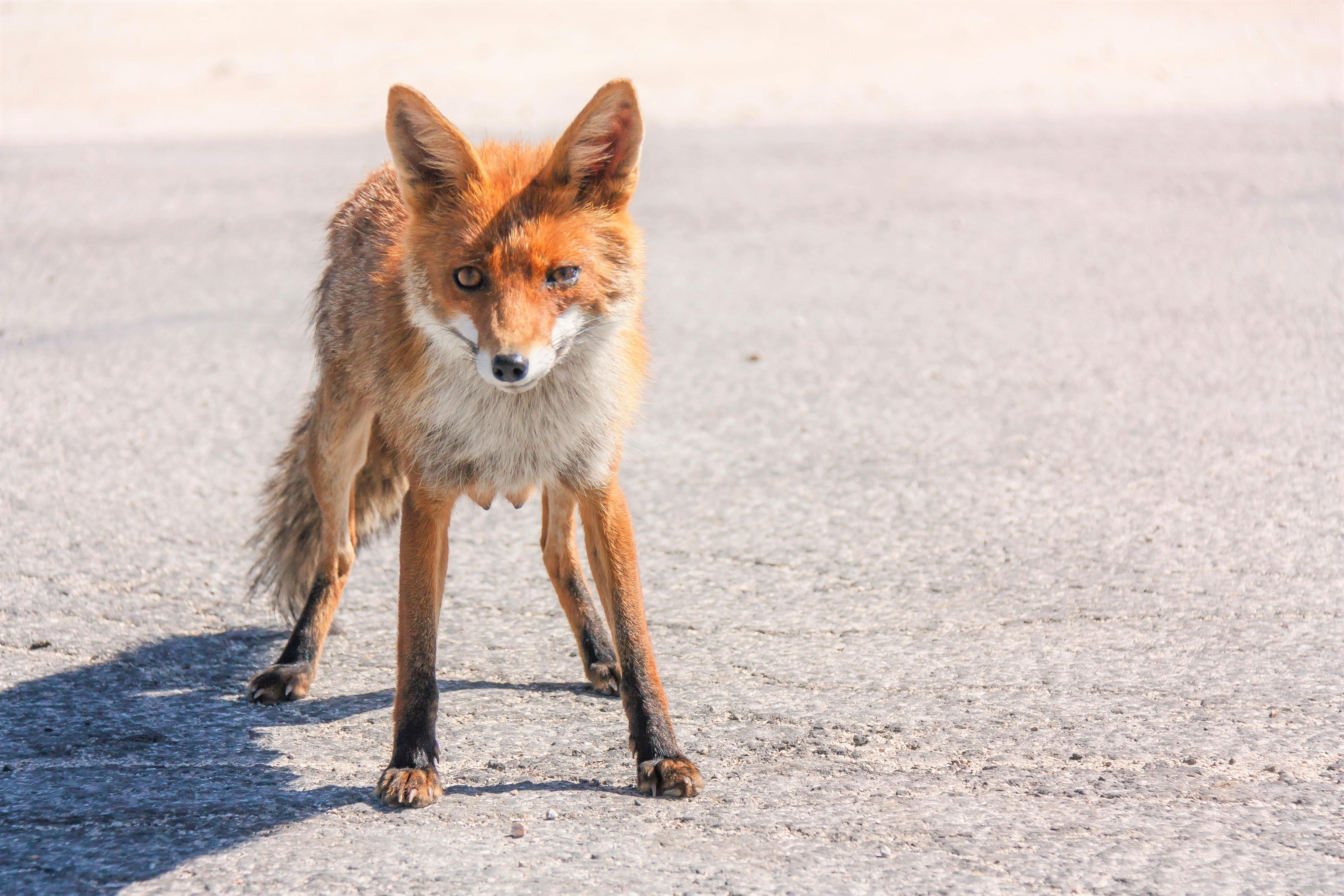 Fox edit