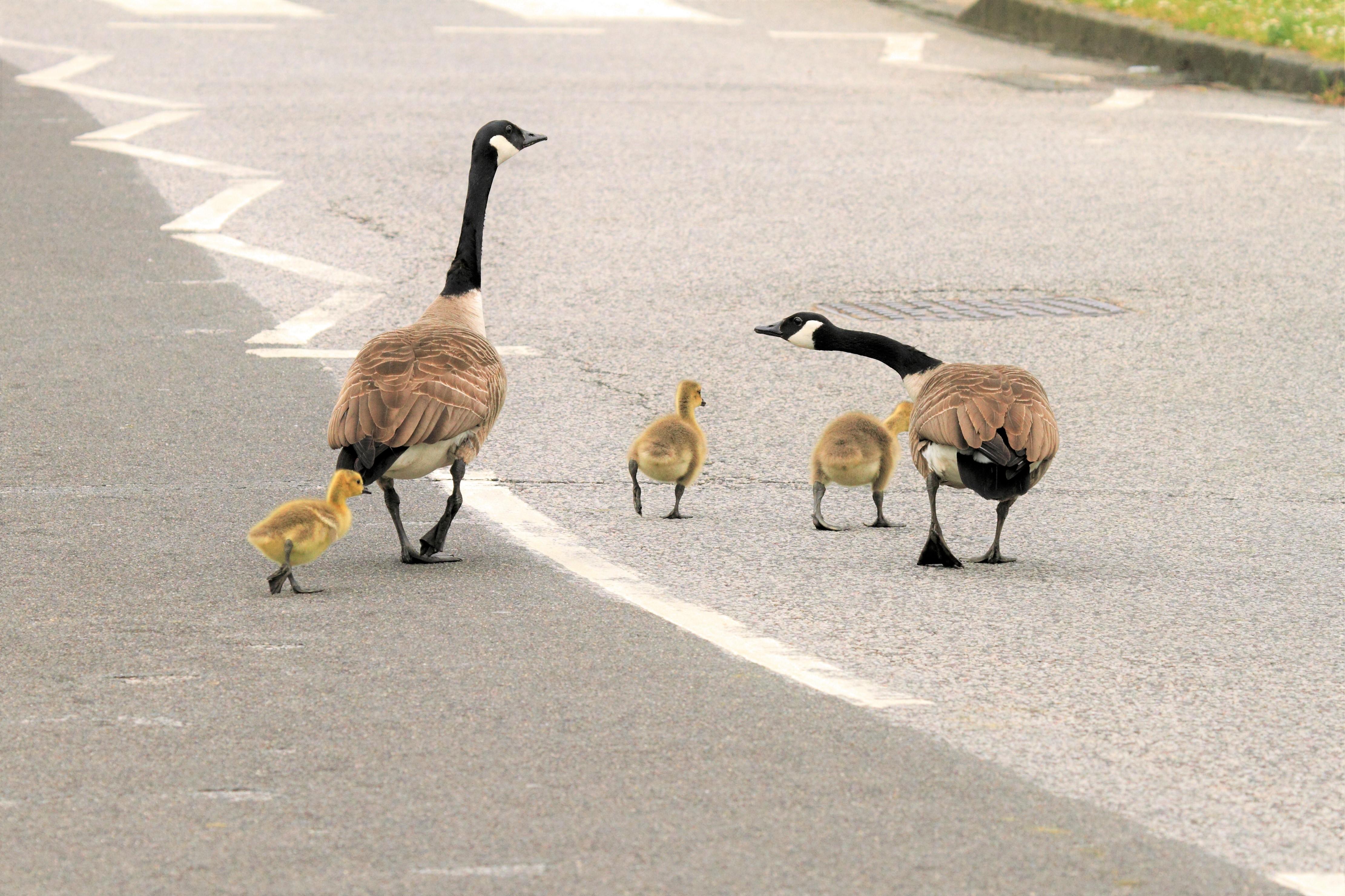 Geese edit