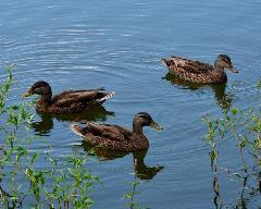 ducks-on-a-pond-mark-bowmer